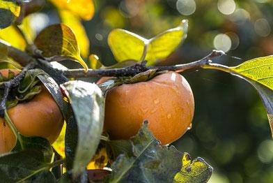 栄養価が高い柿