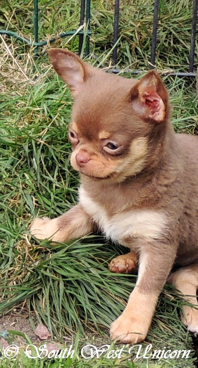 chihuahua chocolat chien chiot elevage eleveur