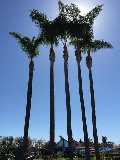 さんさんと太陽の光を浴びるヤシの木