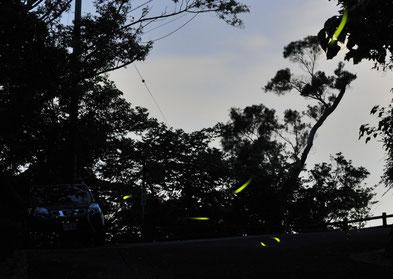 夕暮れとともに1つ2つと飛び出すホタル(5月12日、名護中央公園道で)