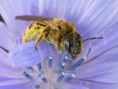 Bild: Gelbbindige Furchenbiene, Halictus scabiosae, Weibchen an der Wegwarte