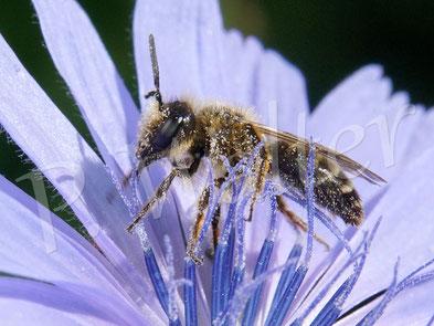 Bild: kleines Sand(?)bienenmännchen an der Wegwarte