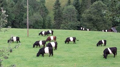 Galloway Rinder Kanton Bern