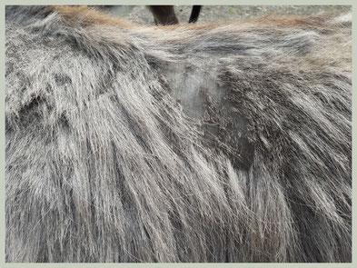 Kale plekken in ezelvacht diagnose: schurft.