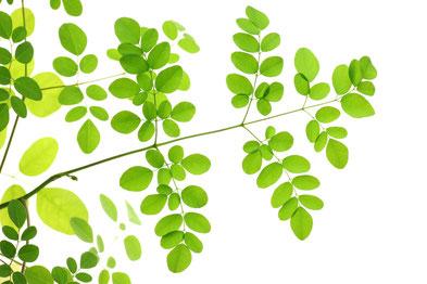 Une branche de Moringa