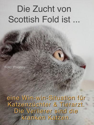 Die verbotene Scottish Fold Zucht ist eine Win-win-Situation für Katzenzüchter & Tierärzte, Verlierer sind die kranke Katzen