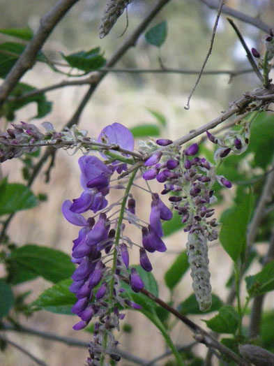 First wisteria bloom.