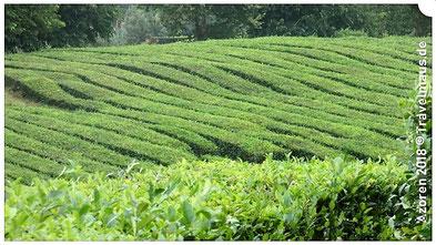Teeplantagen ( einzigartig in Europa)