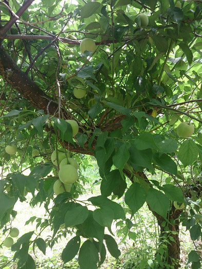 枝には梅がたわわに実っています。