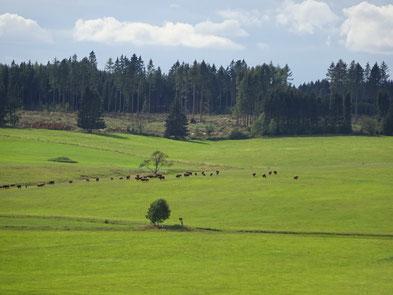 Aussicht auf eine grüne Weide mit Harzer Höhenvieh