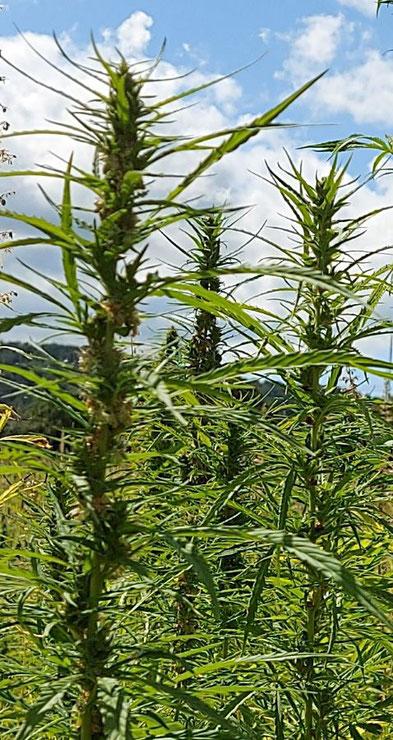 Ein Hanffeld - männliche Pflanze