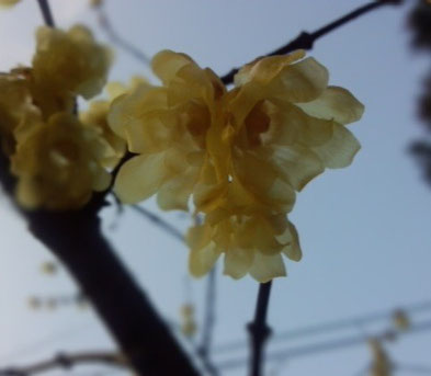 近所の公園に咲く蝋梅