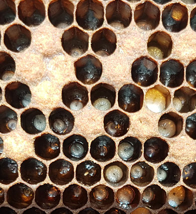 larves sèches avec peu de bouillie larvaire
