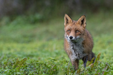Fuchs während dem Frühjahr