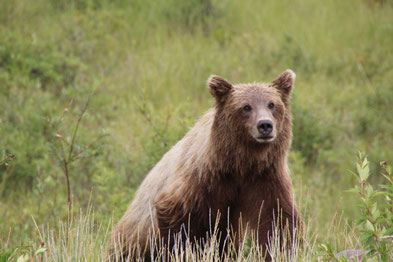 Quand nous croisons le regard du grizzly...