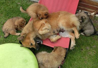 Mama Bia spielt draussen sehr gerne mit ihren Welpis - sie ist schon am Abhaaren und die Kleinen rupfen sie gerne :-)))