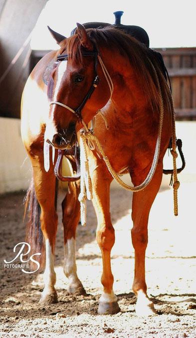Quarter Horse, Fuchs in Reithalle Sonne, Little Docs Rusty, Trainingshackamore, Jungpferde, Colt Starting
