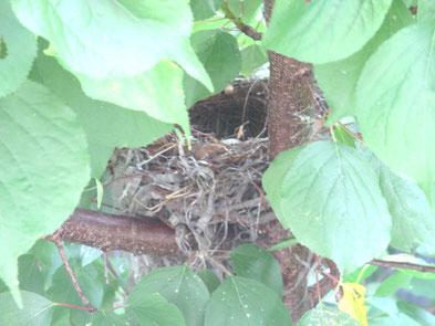 空になったヒヨドリの巣