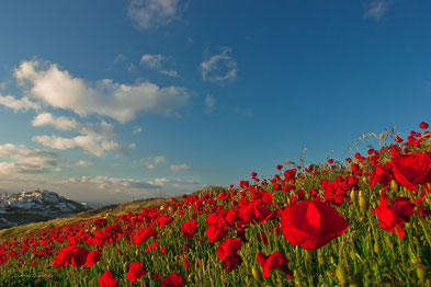 red poppy field in Pirgos
