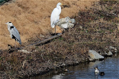 1月26日 アオサギ・ダイサギとコガモ:教会下の小川にて
