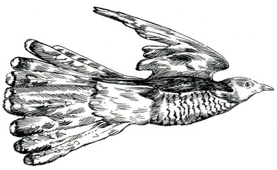 """fliegender Kuckuck, Tuschezeichnung aus """"Gartenglück und Sommerzauber"""" ars Edition 2014 © Caroline Ronnefeldt"""