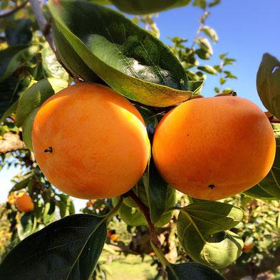 富有柿の産地直送