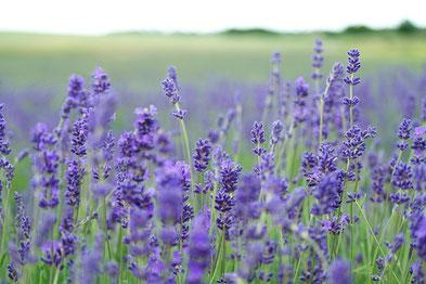 Lavendel, Duftpflanze, Würzkraut, Lavendelöl, Badesalz