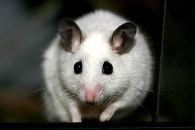 African Soft Furred Rat