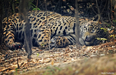 A prostrated jaguar with burnt feet. Photo by photographer and documentary-maker Mario Friedlander, Parque Estadual Encontro das Águas (Poconé, Mato Grosso), August 2020. The author got permission for the use of this image for the article.