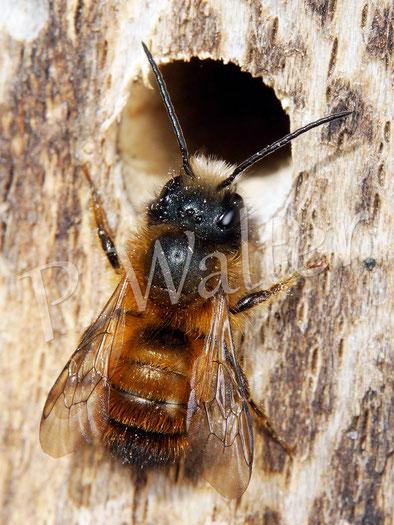 Bild: Männchen der Rostroten Mauerbiene, Osmia bicornis