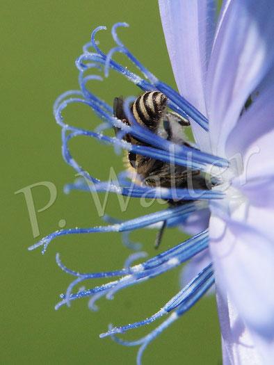28.06.2015 : Wildbiene (Seidenbiene ??) an der Wegwarte