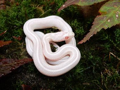Kornnatter Snow Tessera motley~striped