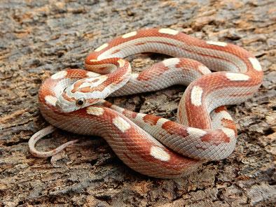 Tessera motley~striped Kornnatter