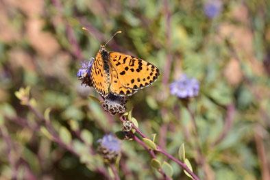 M. deserticola mideltica, génération estivale, mâle, région de Midelt, Haut Atlas nord-oriental, 2018, ©Frédérique Courtin-Tarrier