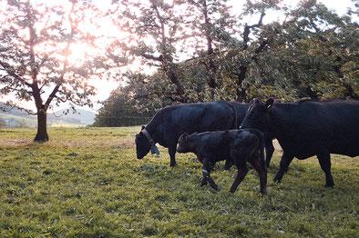 Brown-Suisse Milchkuh auf der Weide Hof Ebnet