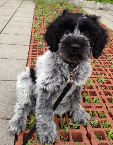 Cooper mit 11 Wochen