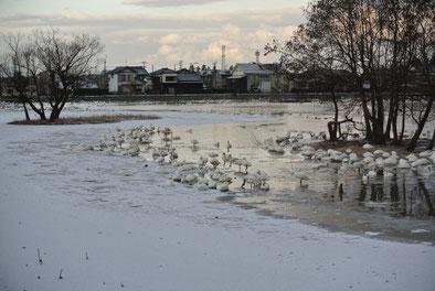白く凍りついた瓢湖(南東隅から撮影)