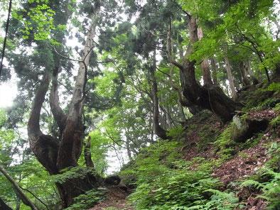 自然と芸術になってる芦生杉