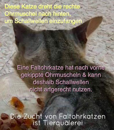 Die Zucht von Faltohrkatzen ist Tierquälerei - the breed of Scottish Fold cats is animal cruelty, Foto: Birgitta