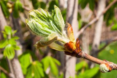 7 Chestnut Bud