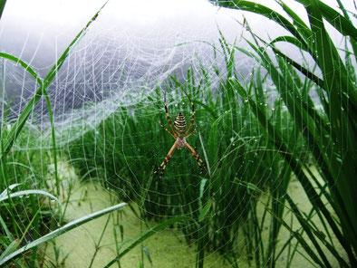 自然栽培の稲とナガコガネグモ
