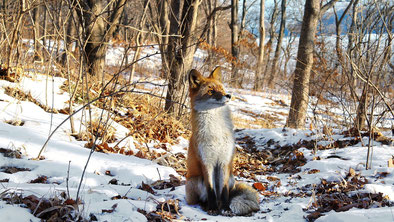 Fuchs im Winterpelz