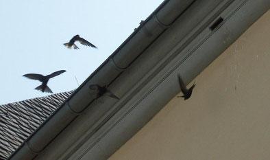Wilde Mauersegler-Flugschau vor Quartier