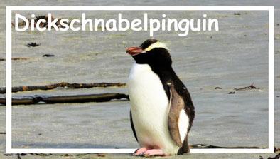 dickschnabelpinguin-neuseeland-weltforscher