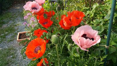 Den Türkischen Mohn in meinem Garten liebe ich besonders.