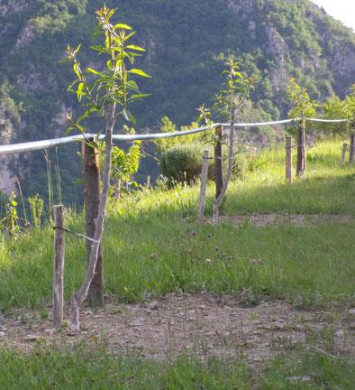 Amandiers formés en basse tige: rabattus à 70cm à la plantation. Printemps suivant la plantation.
