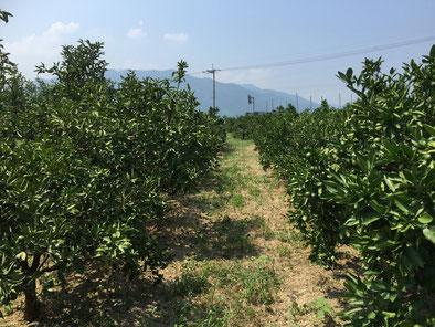 河見農園みかん畑 Orange orchard