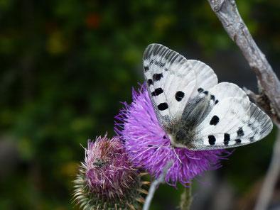 Papillon Semi-Apollon - Rémuzat