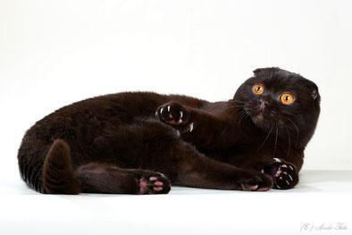 scottish fold, brown cat