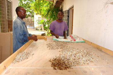 Moringa-Ernte in Tansania
